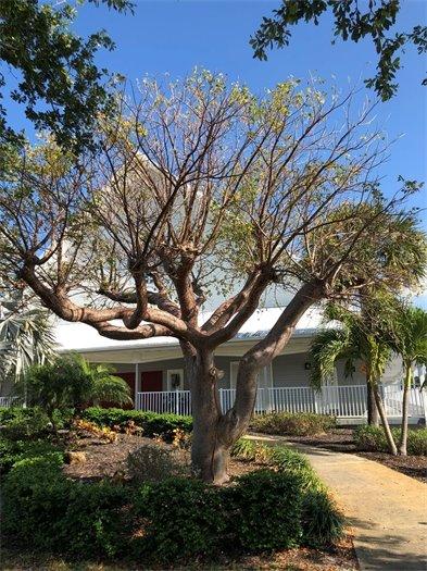 Gumbo Limbo mature tree at Chapel by the Sea