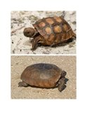 Gopher Tortoise baby and adult